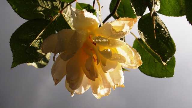yellow-rose-671412_1920