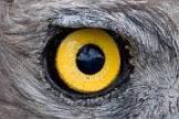 Oeil d'aigle jaune