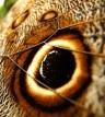 Papillon oeil, détail oeil