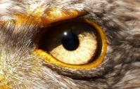 Oeil d'aigle froncé