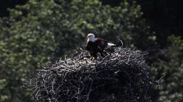 bald-eagles-1761466_1920