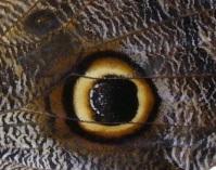 Papillon oeil, détail aile